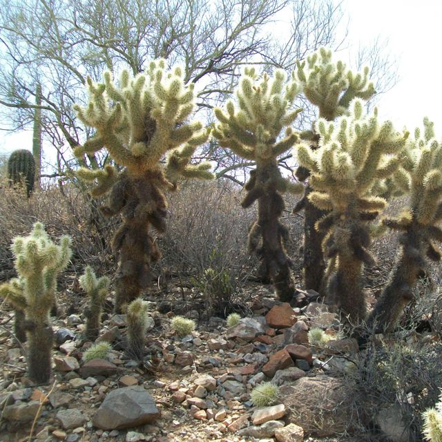 A picture of teddy-bear cholla.